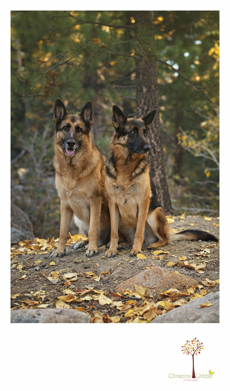 Sonora and Reno family and wedding photographer Christine Dibble Photography takes a portrait of two German Shepherds at Galena Park.